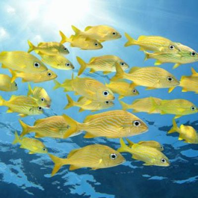 School of tropical fish, Four-eyed Butterflyfish under water surface, Caribbean sea
