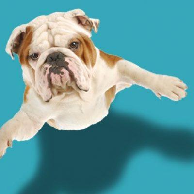 pug_dog_flying_web